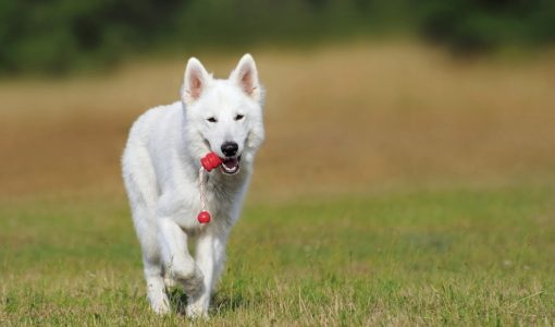Researchers Seek Genetic Keys to Canine Behavior