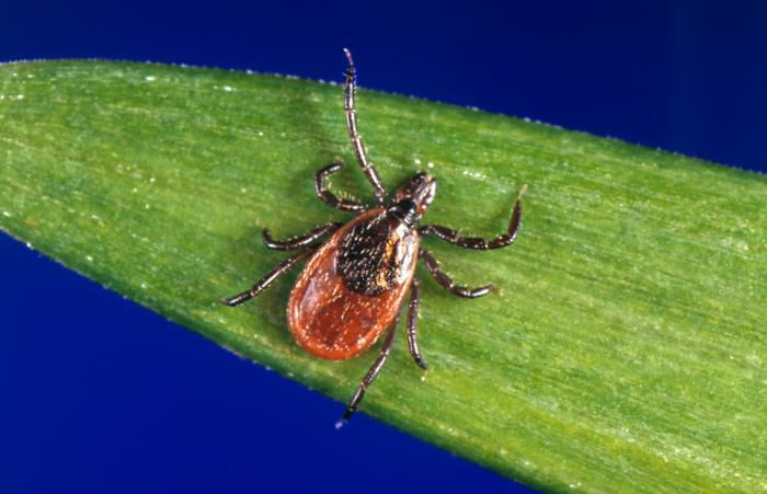 Ticks can transmit a number of diseases, including Lyme disease.