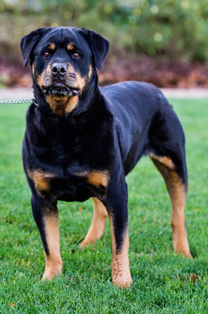 Tyson, a seven-year-old Rottweiler, received limb sparing surgery at the Tufts University Cummings School of Veterinary Medicine after developing osteosarcoma, a bone tumor, on his left foreleg.  Photo by Alonso Nichols, Tufts Photo