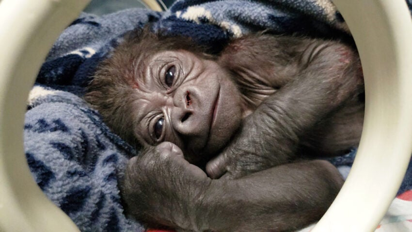 Western lowland gorilla baby rests in incubator shortly after birth.