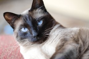 © NanJMoore/Getty Images The darker colors occur on the legs, ears and nose due to decreased temperature in these areas. An example of a breed with points is the Siamese.