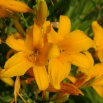 yellow-lillies